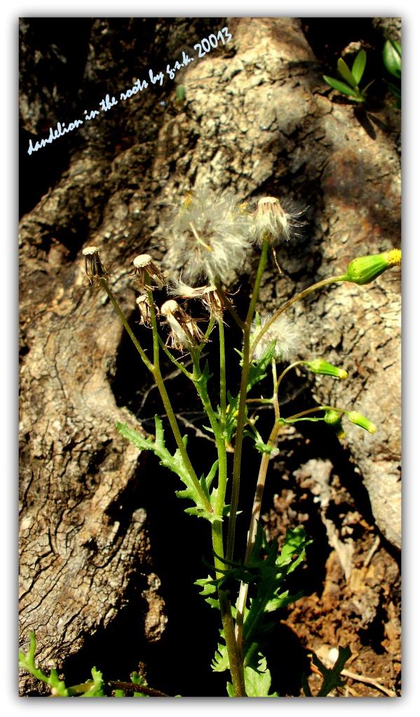 Dandelion inside the root